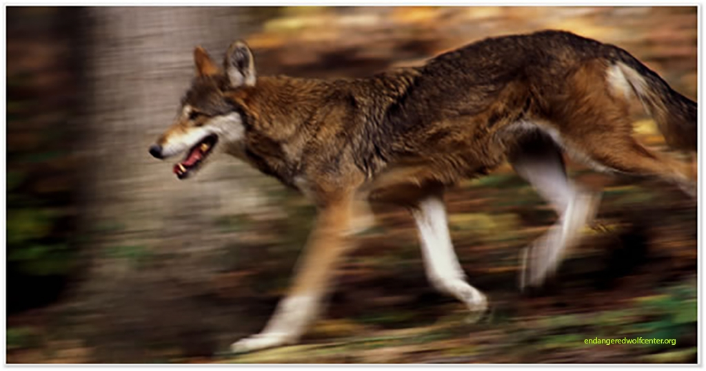 Red_Wolves-copy.jpg
